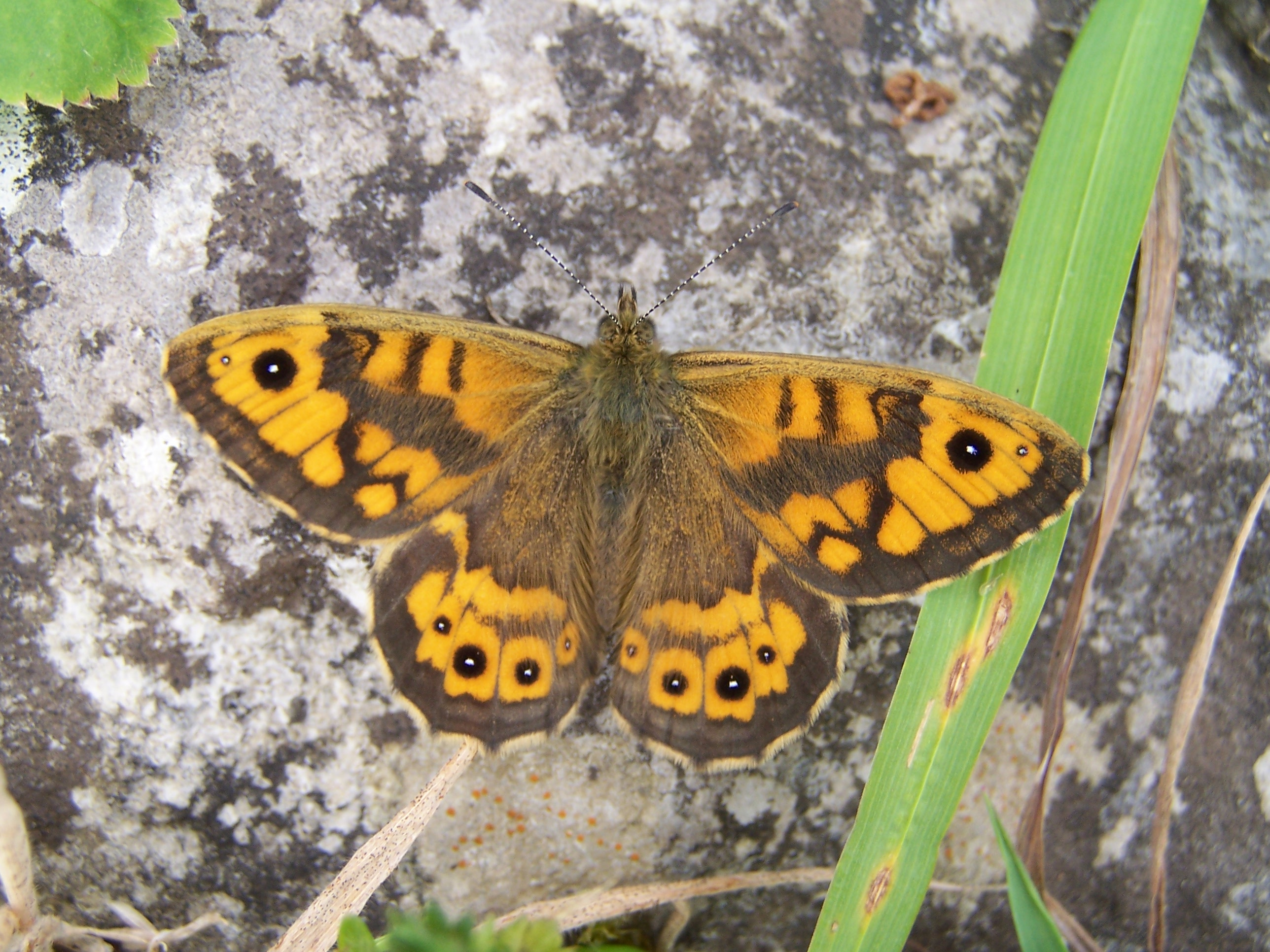 29.Wall Brown.100_1007