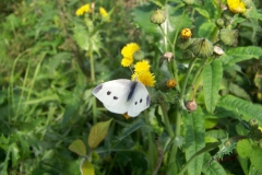 09. Small White, female, Drehid.100_5430