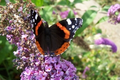 19. Red Admiral.100_0695