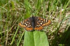 27. Marsh Fritillary.P1120183