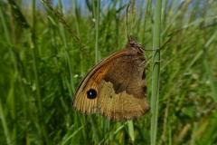 32. Meadow Brown.P1120957 (1)