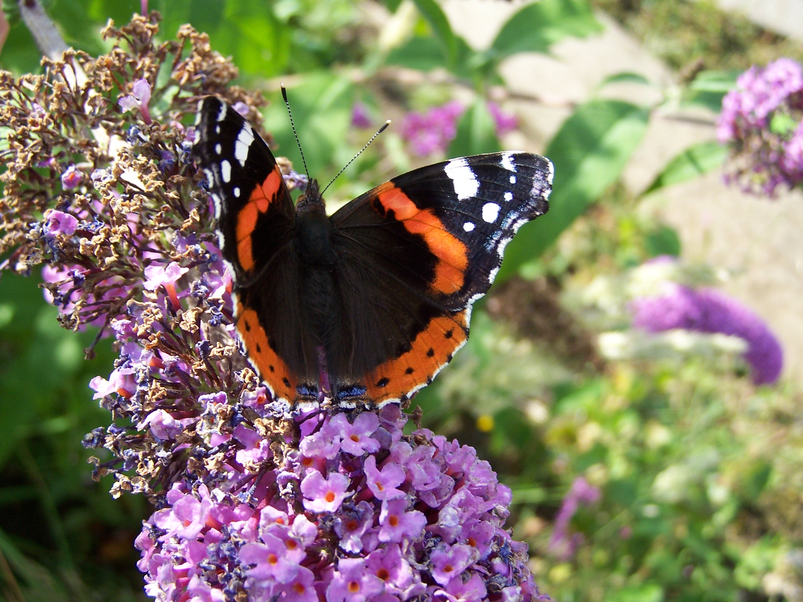 19.-Red-Admiral.100_0695